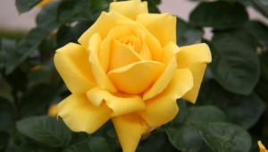 Yellow Rose Full Hd