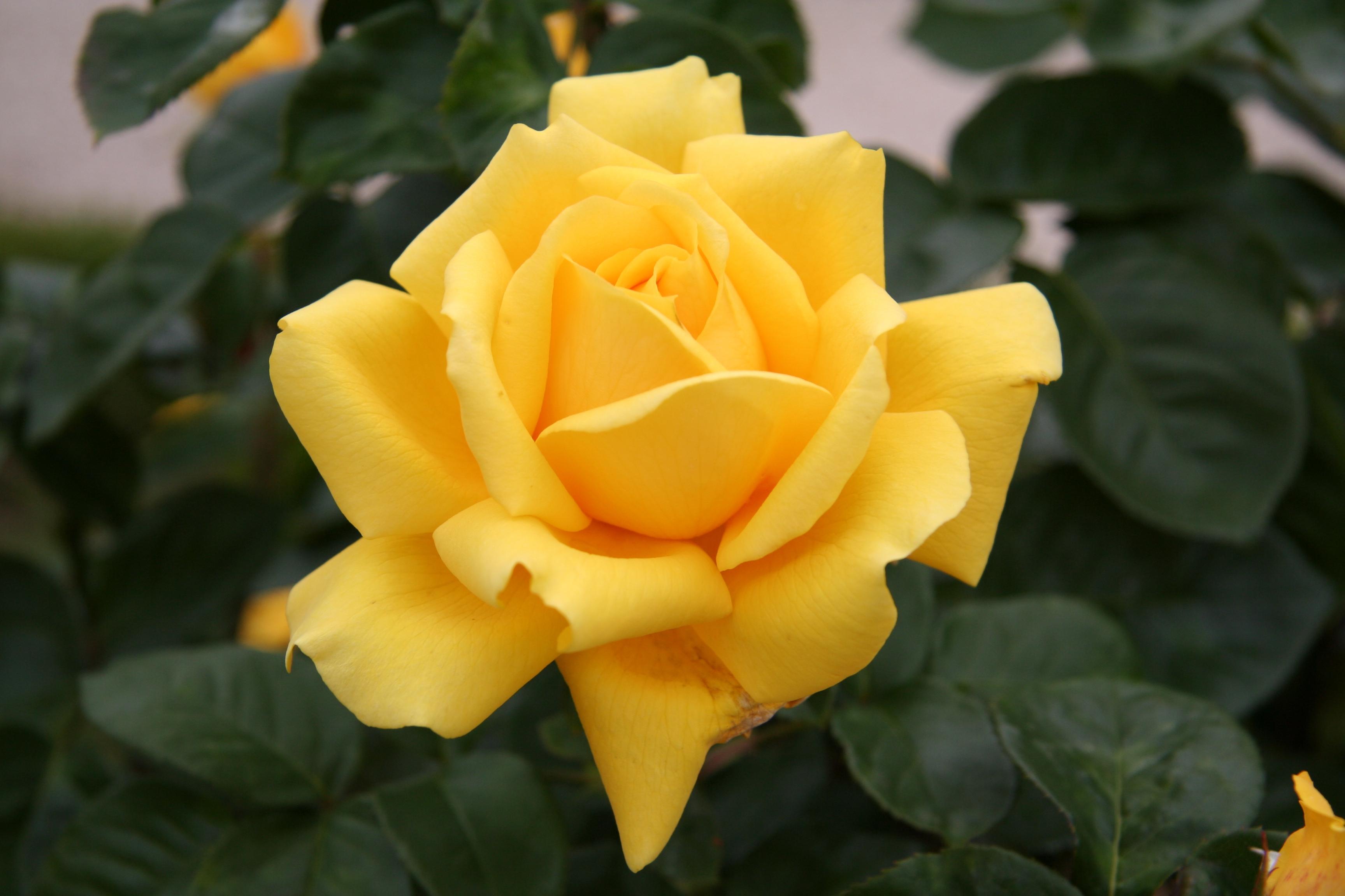 Yellow rose full hd - Yellow rose images hd ...