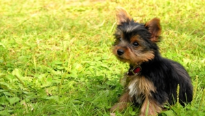 Yorkshire Terrier Computer Backgrounds
