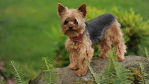 Yorkshire Terrier Desktop