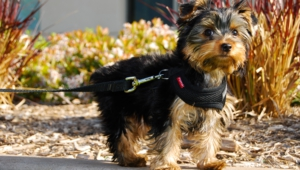 Yorkshire Terrier Hd Wallpaper