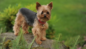Yorkshire Terrier Wallpaper For Computer