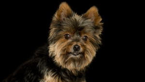 Yorkshire Terrier Wallpaper For Laptop