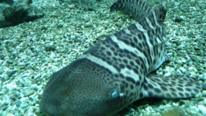 Zebra Shark Hd Wallpaper