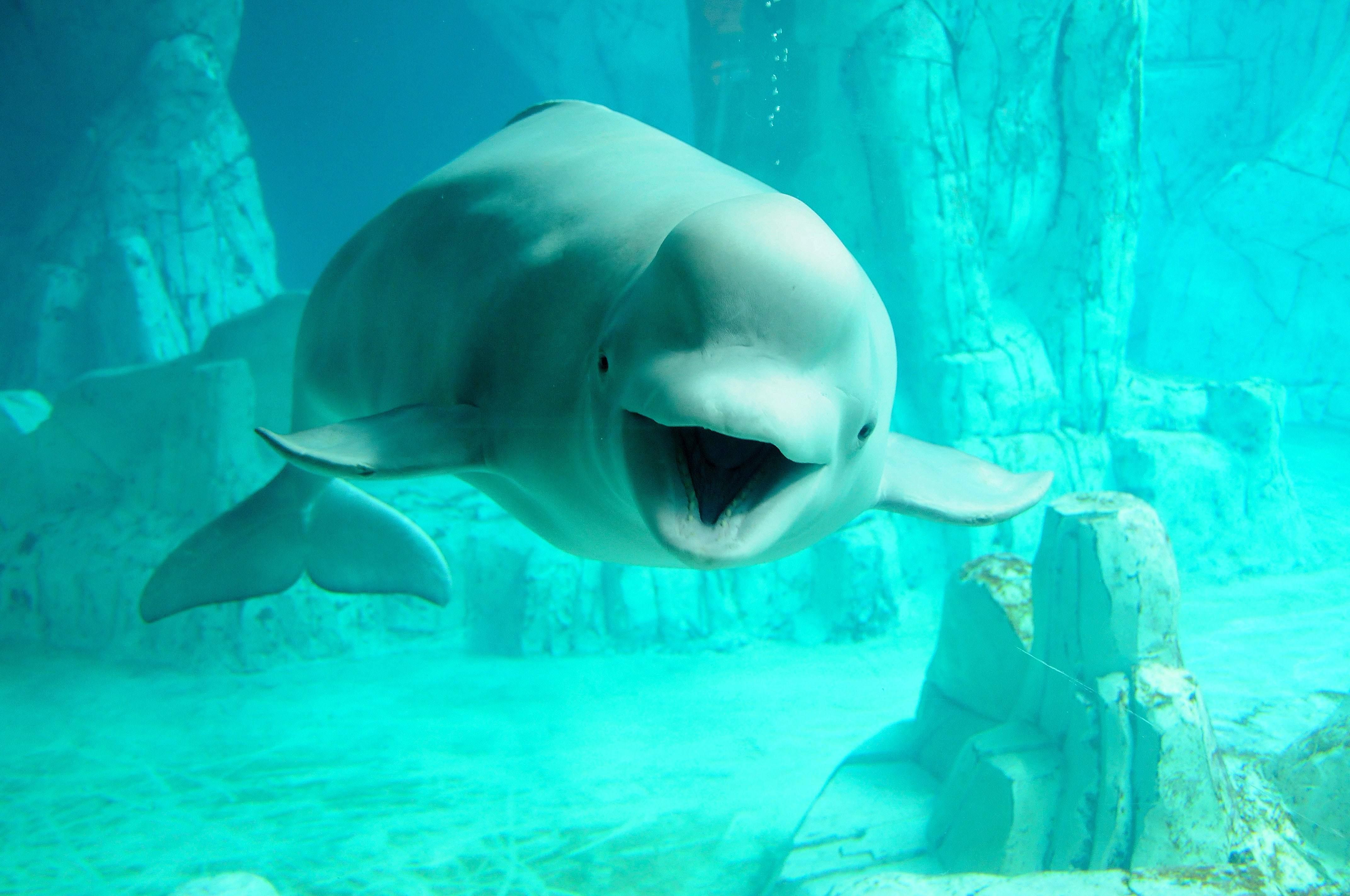 Beluga Whale HD Desktop