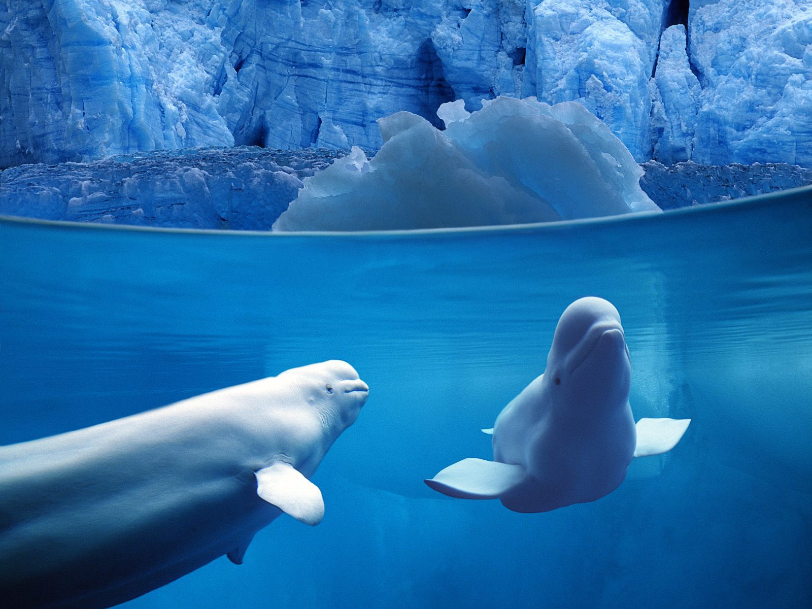 Beluga Whale For Desktop