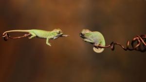Chameleon Computer Wallpaper