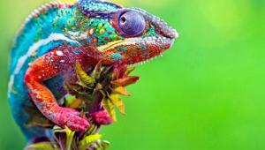 Chameleon Images