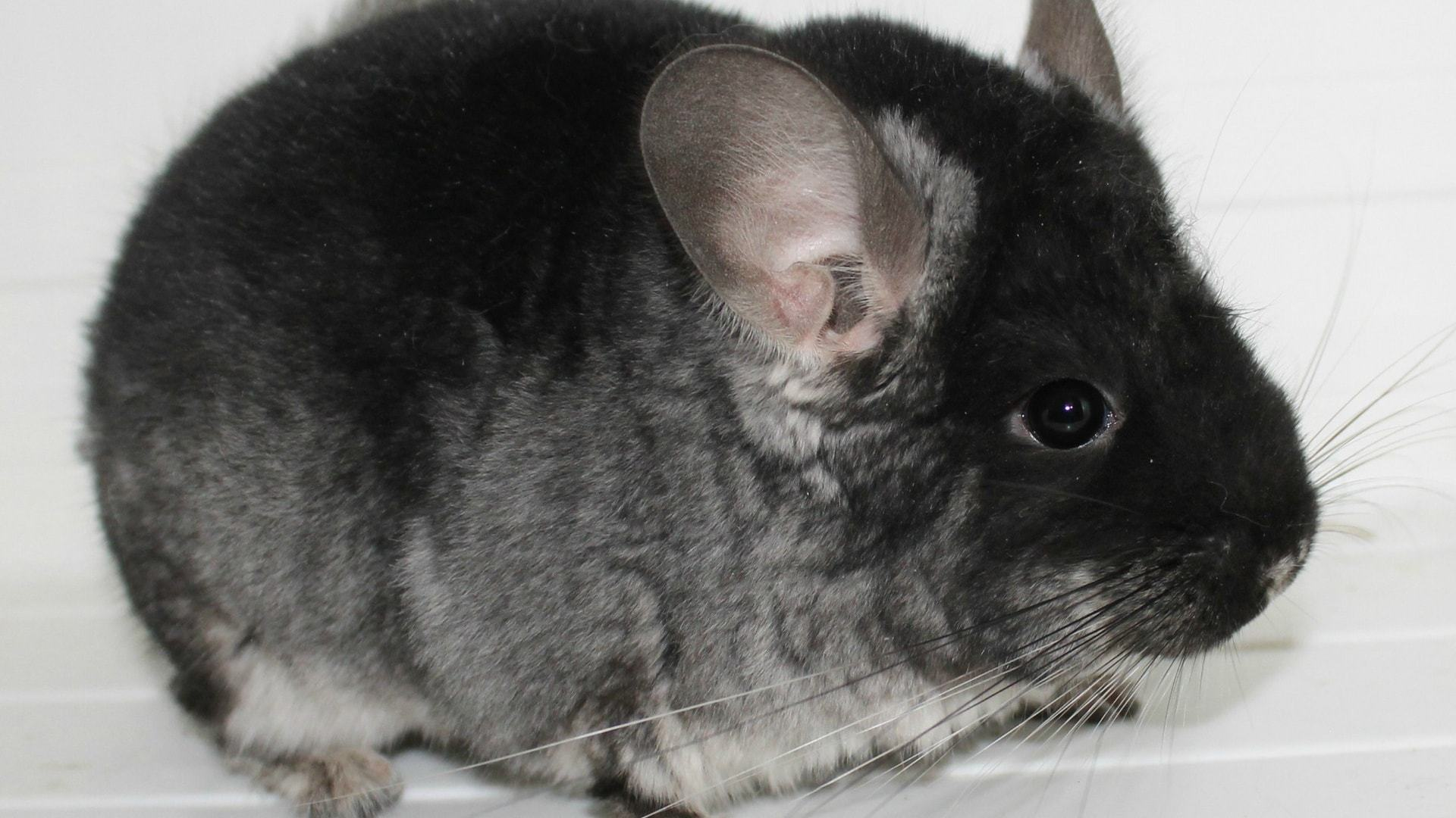 Chinchilla Photos