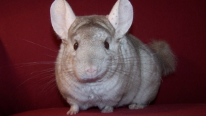 Chinchilla Wallpapers