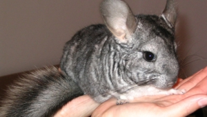 Chinchilla Wallpapers HD