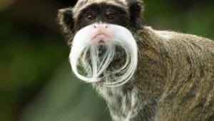 Emperor Tamarin HD Background