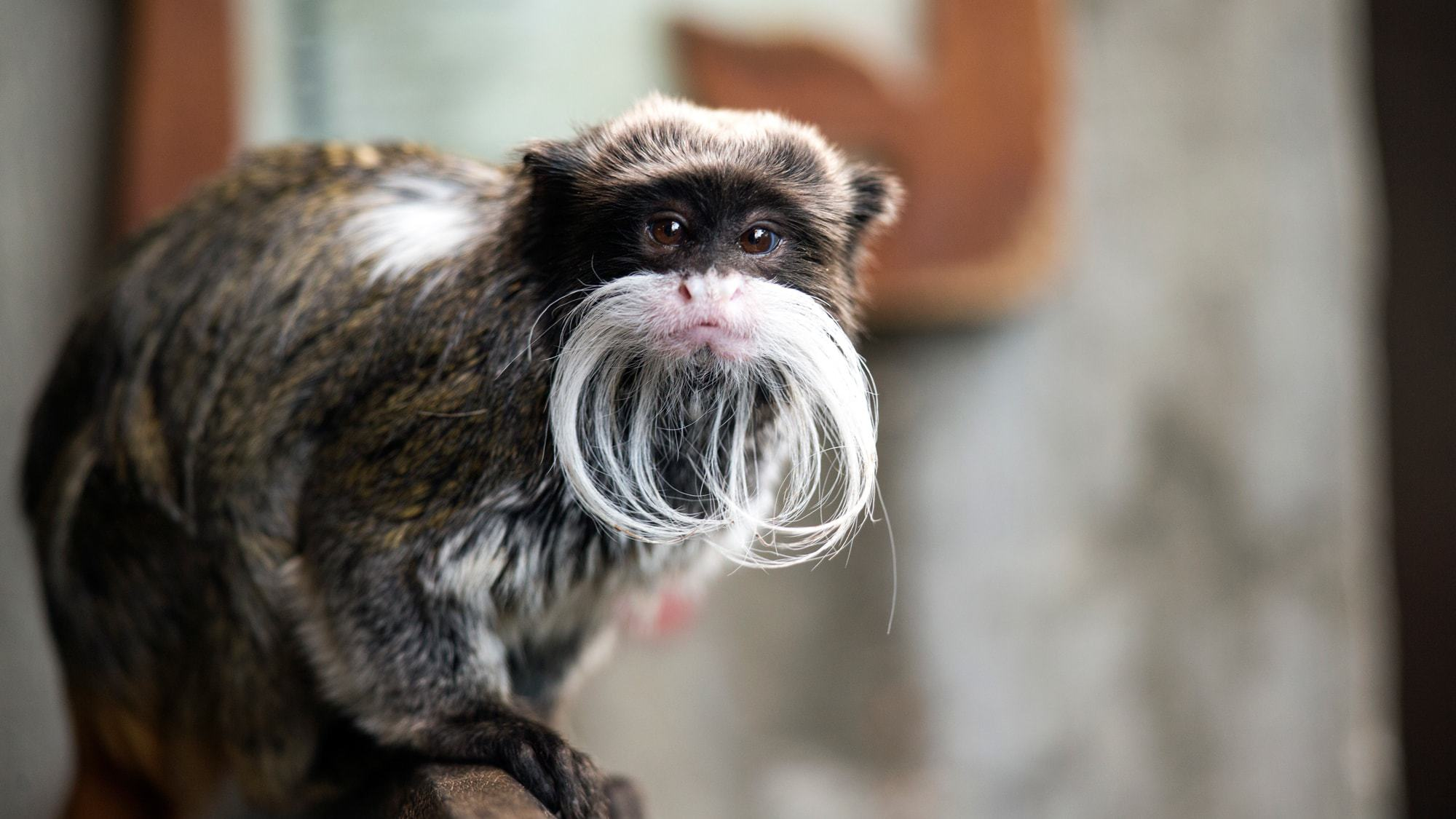 Emperor Tamarin High Quality Wallpapers