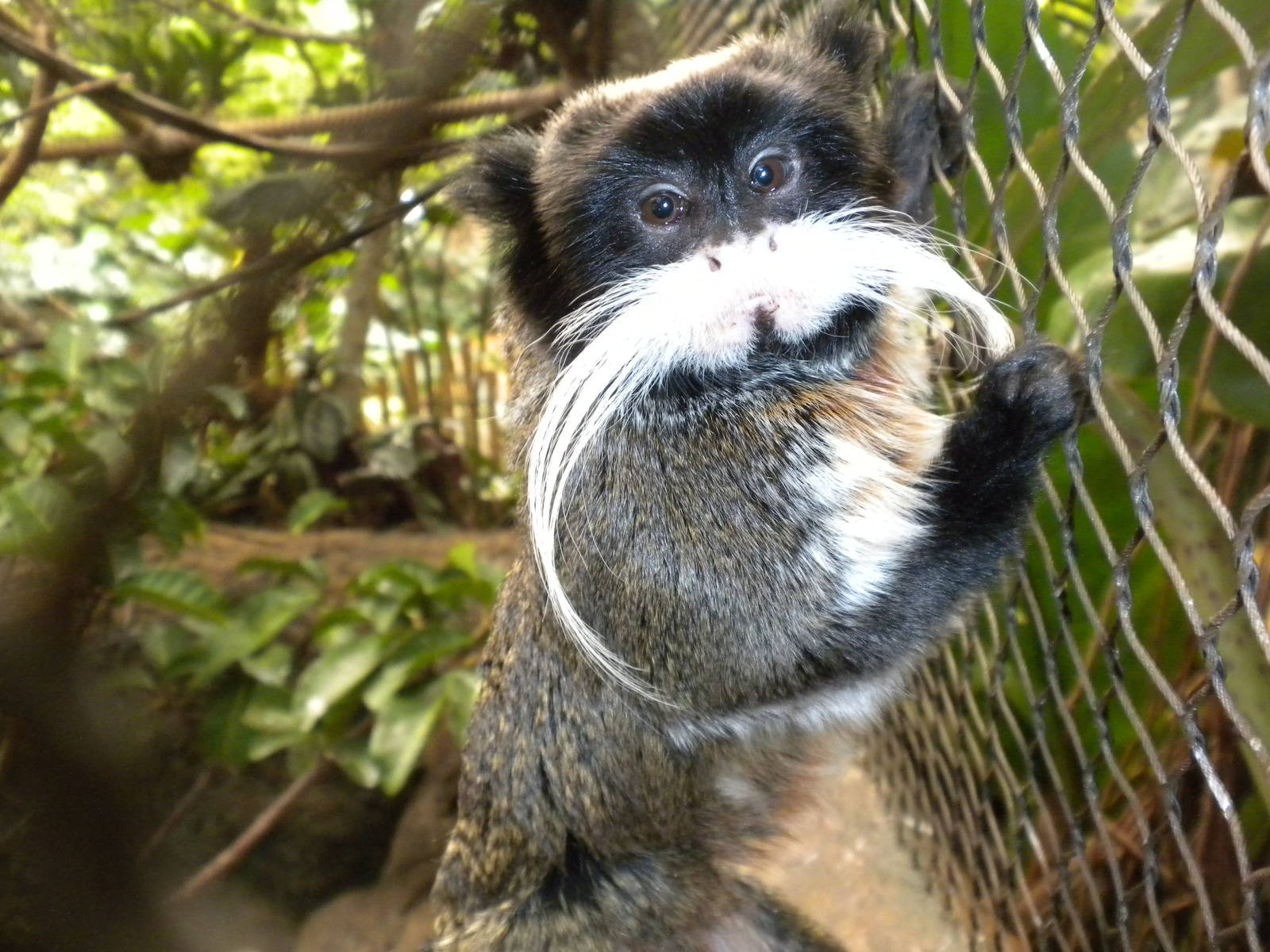 Emperor Tamarin Wallpaper