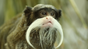 Emperor Tamarin Wallpapers