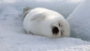 Harp Seal Background