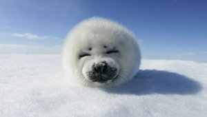Harp Seal Computer Wallpaper