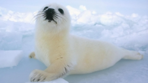 Harp Seal HD Wallpaper