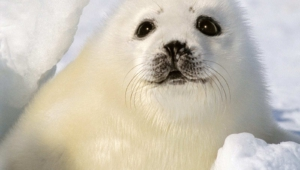 Harp Seal Wallpapers