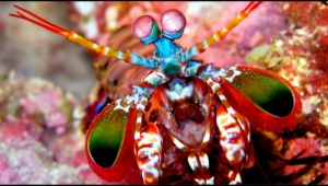 Mantis Shrimp Background