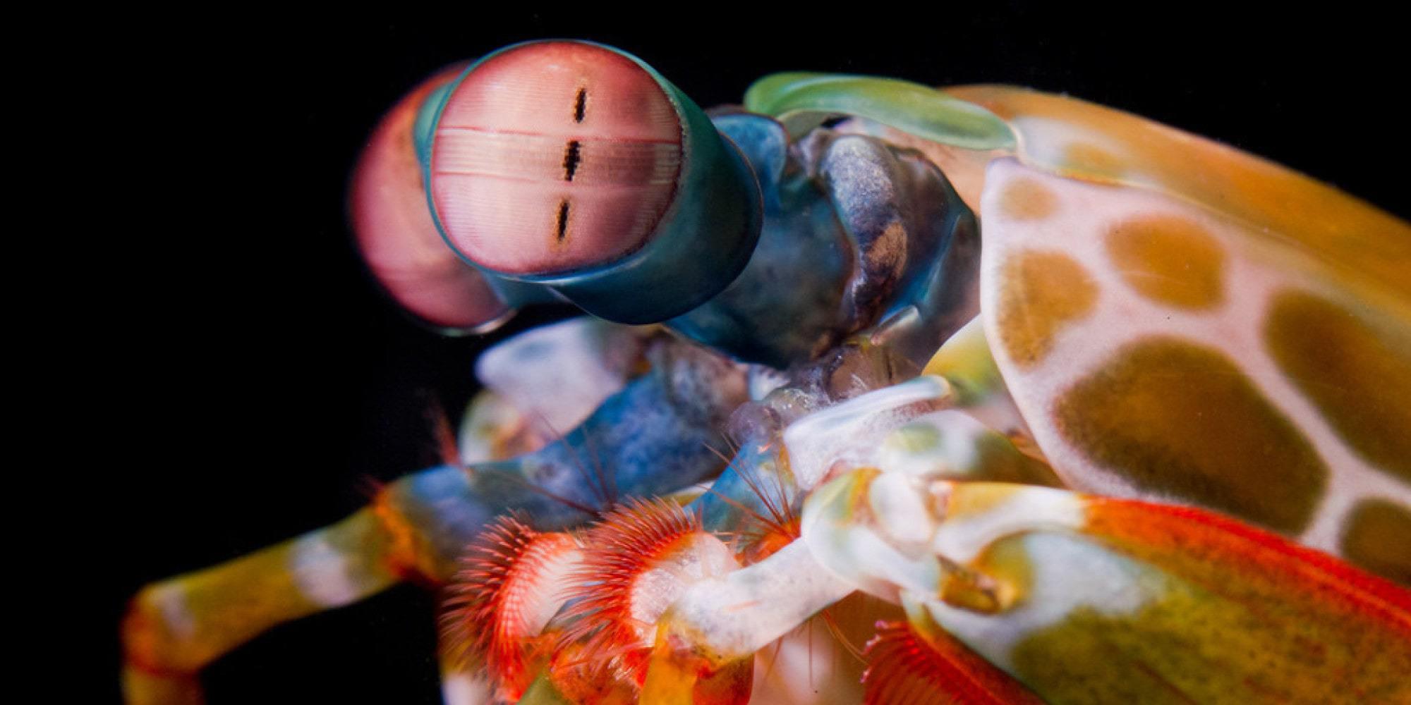 Mantis Shrimp HD Desktop