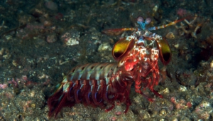 Mantis Shrimp High Definition Wallpapers