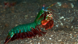 Mantis Shrimp High Quality Wallpapers
