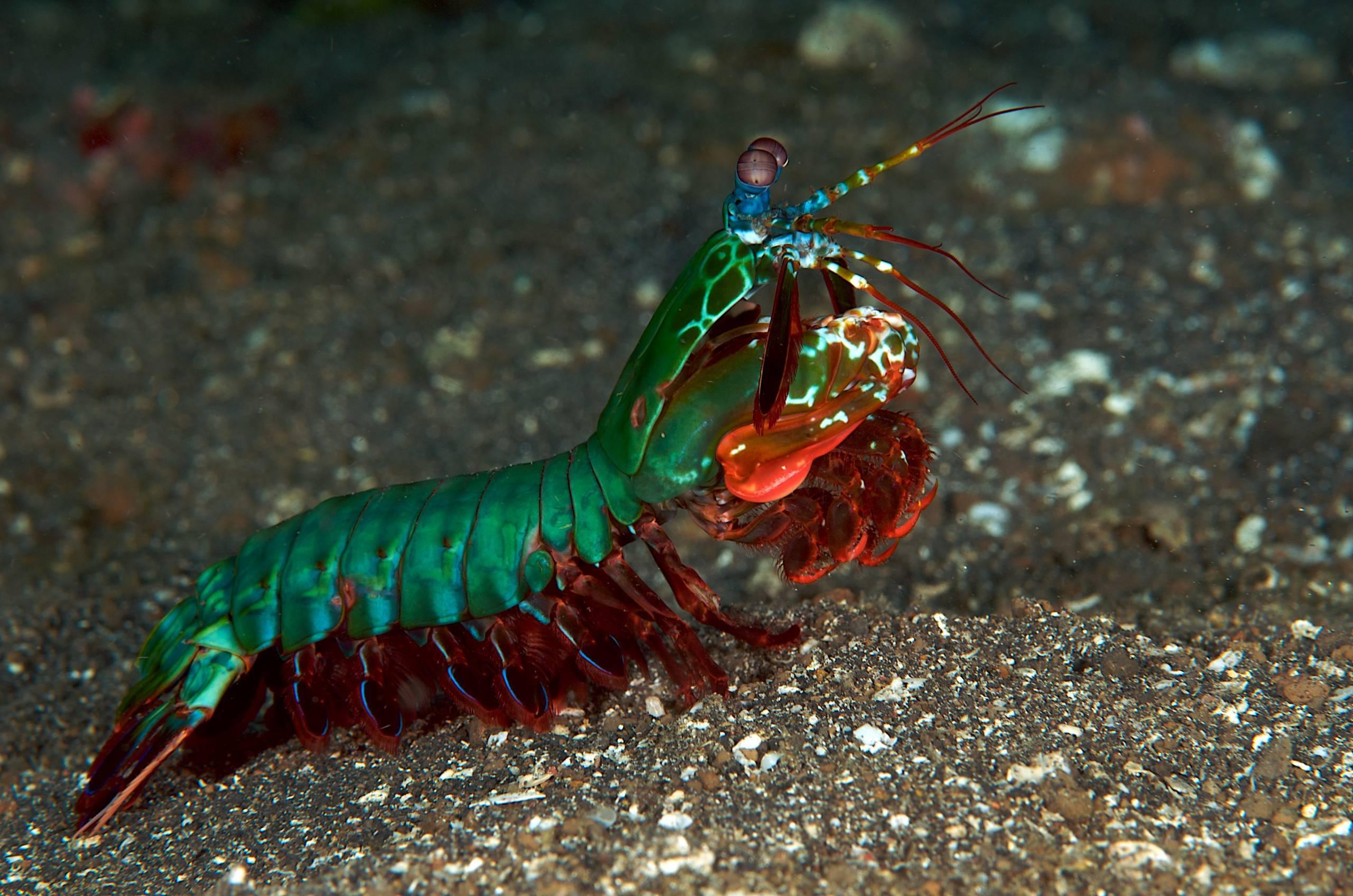 Mantis Shrimp High Quality Wallpapers