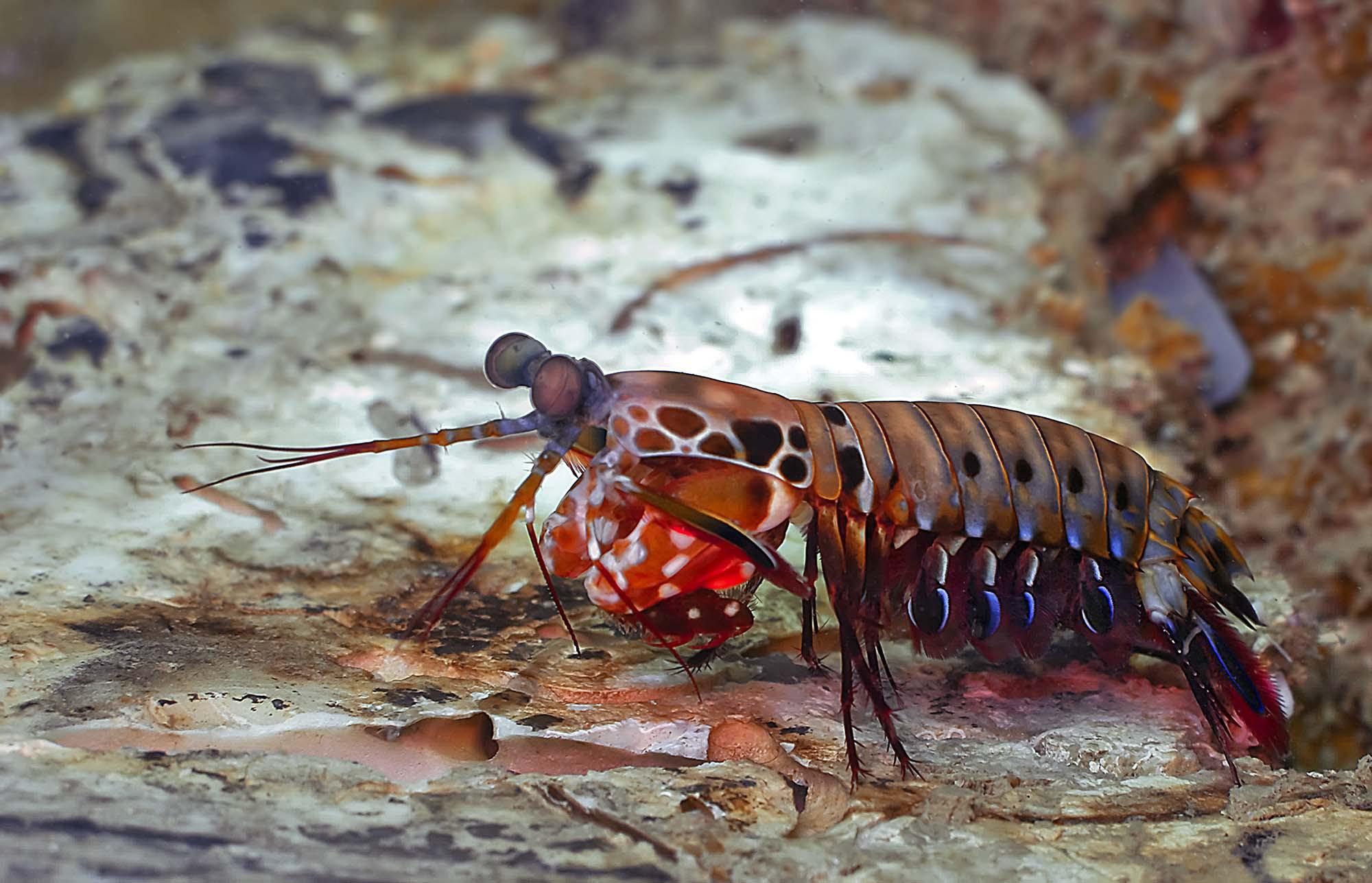 Mantis Shrimp Images