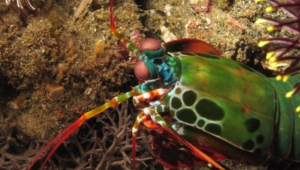 Mantis Shrimp Wallpapers HD