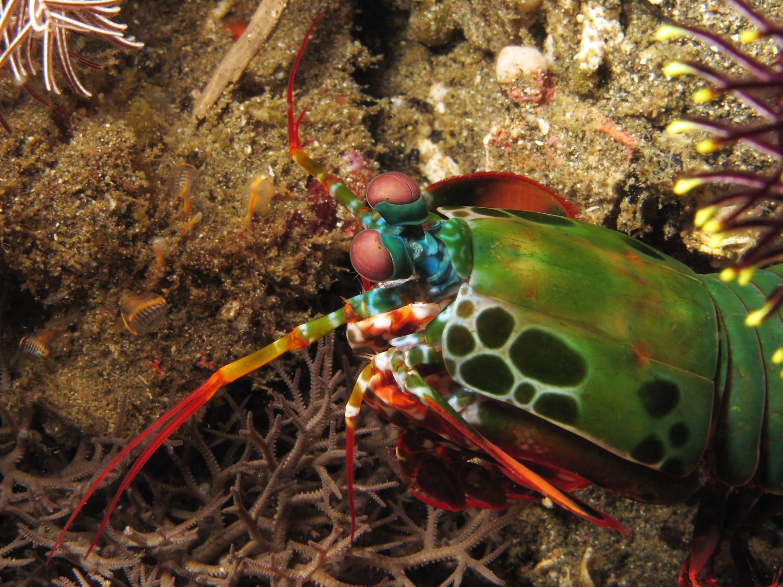 Mantis Shrimp Wallpapers HD