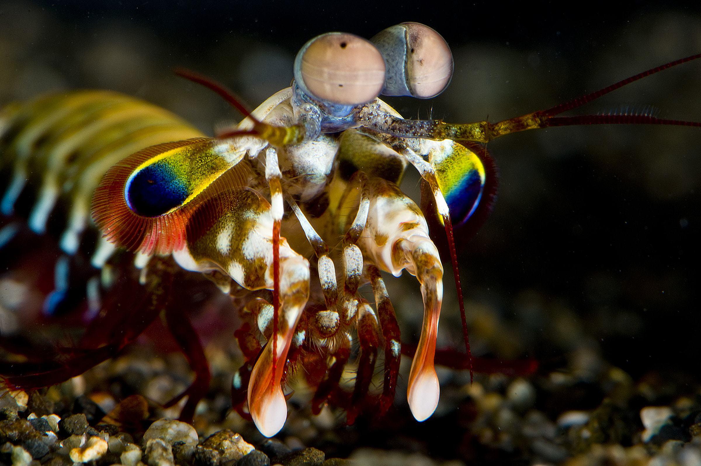 Mantis Shrimp For Desktop