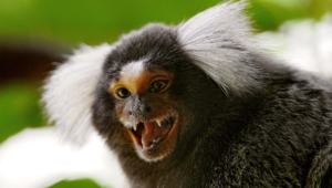 Marmoset Monkey Computer Wallpaper