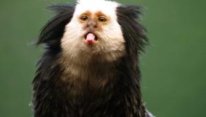Marmoset Monkey Desktop