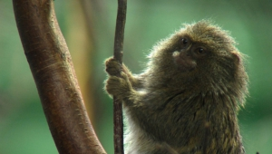 Marmoset Monkey HD
