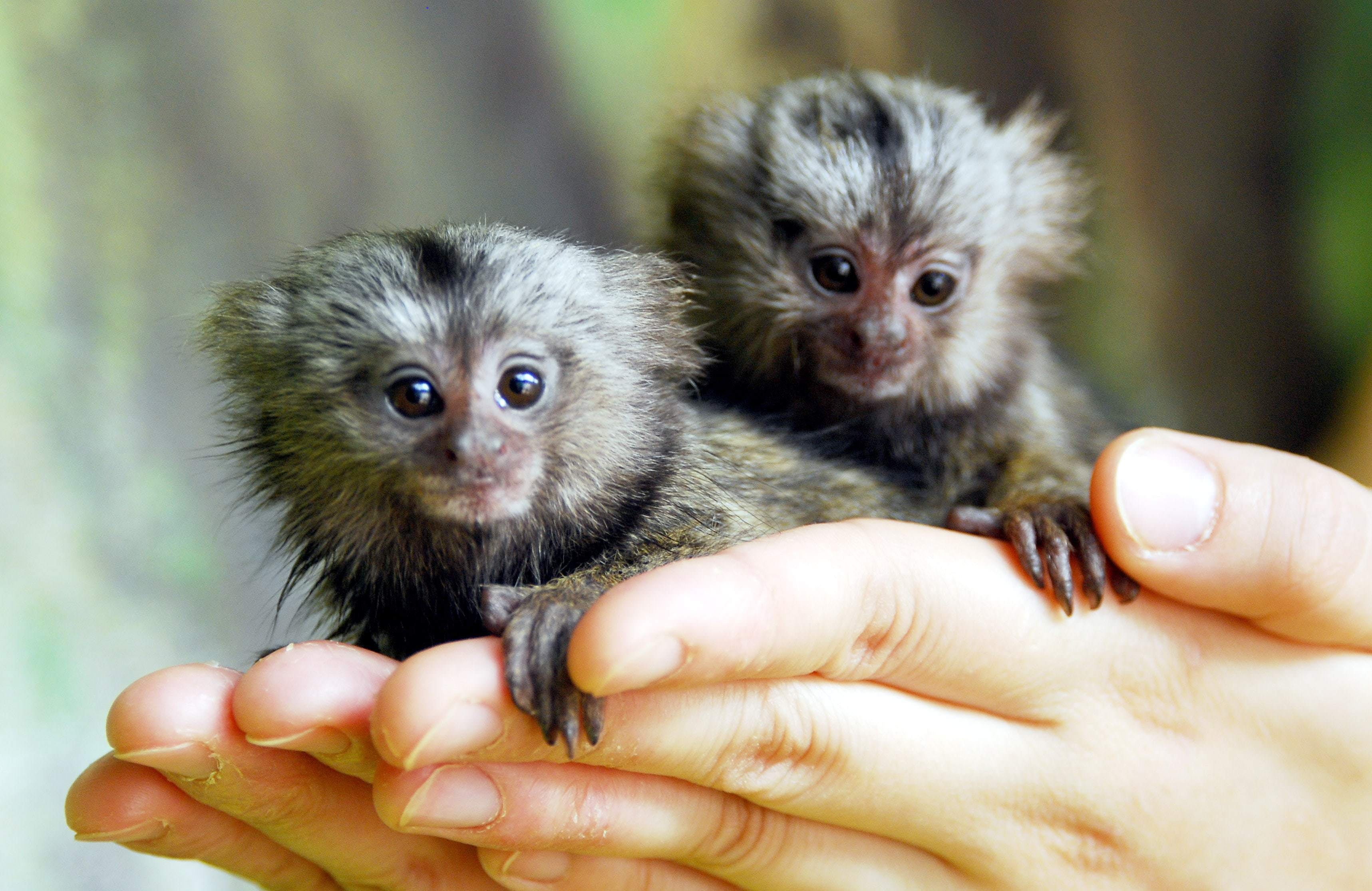 Marmoset Monkey HD Wallpaper