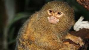Marmoset Monkey Pictures
