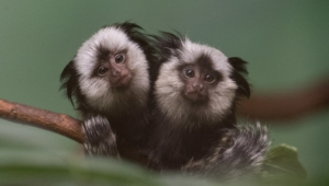 Marmoset Monkey Wallpapers HD