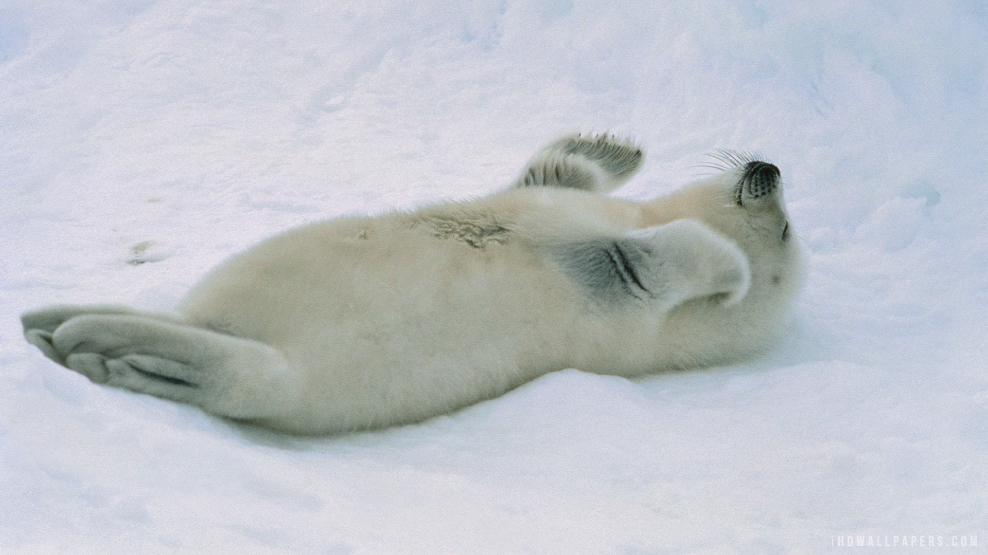 Pictures Of Harp Seal