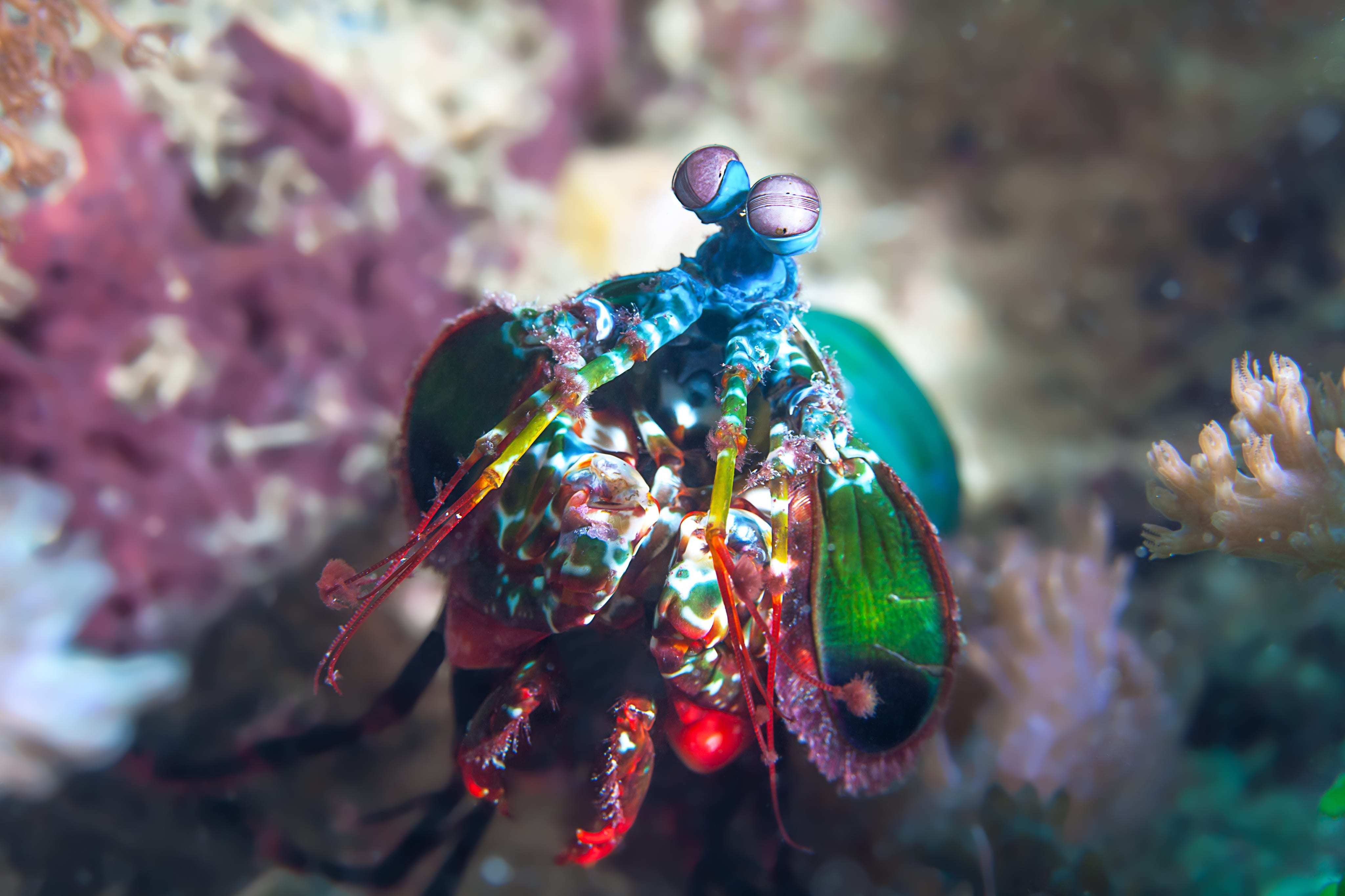 Mantis Shrimp Wallpape...