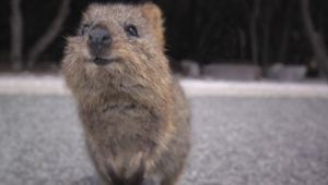Quokka Background