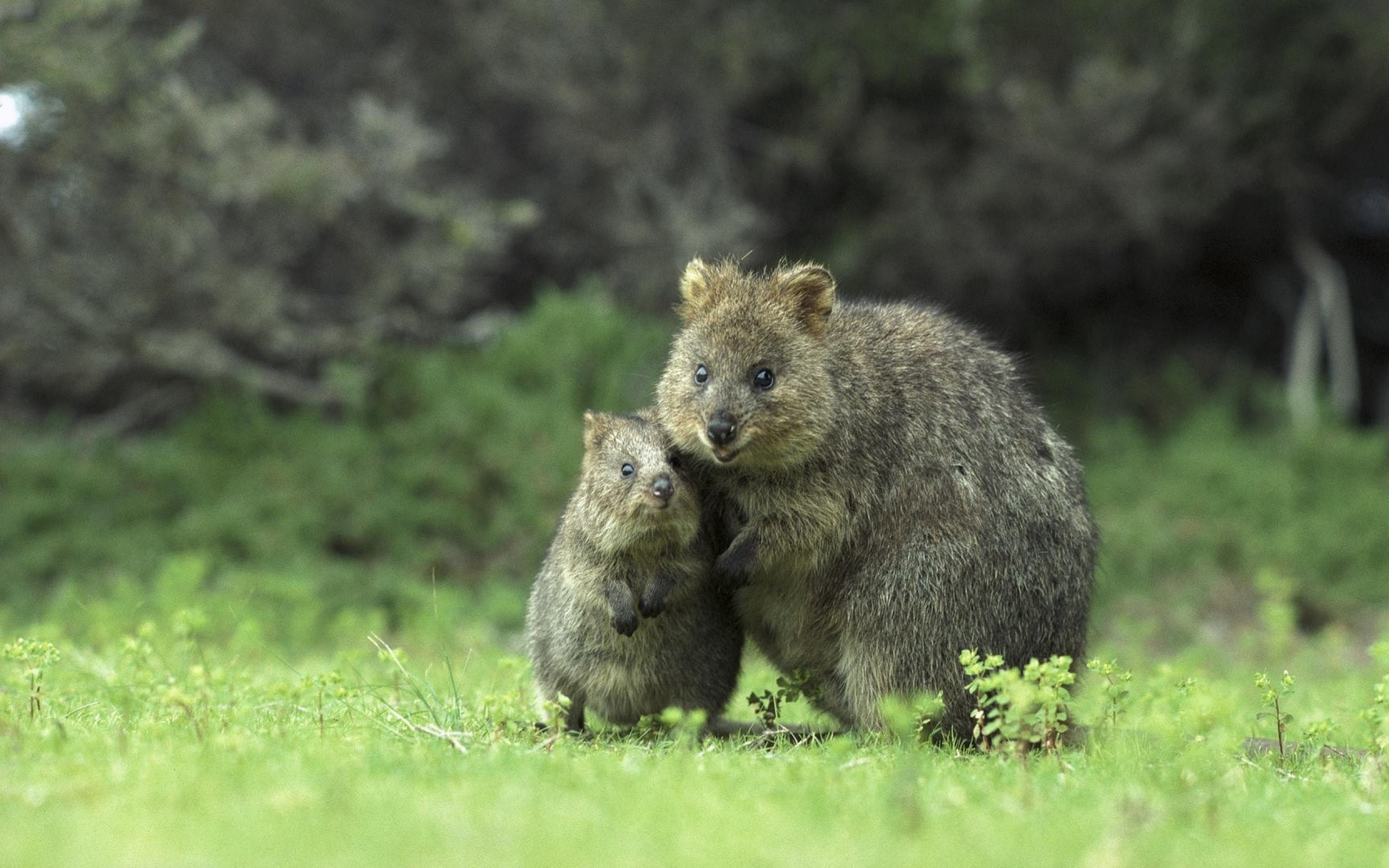 Quokka Computer Wallpaper