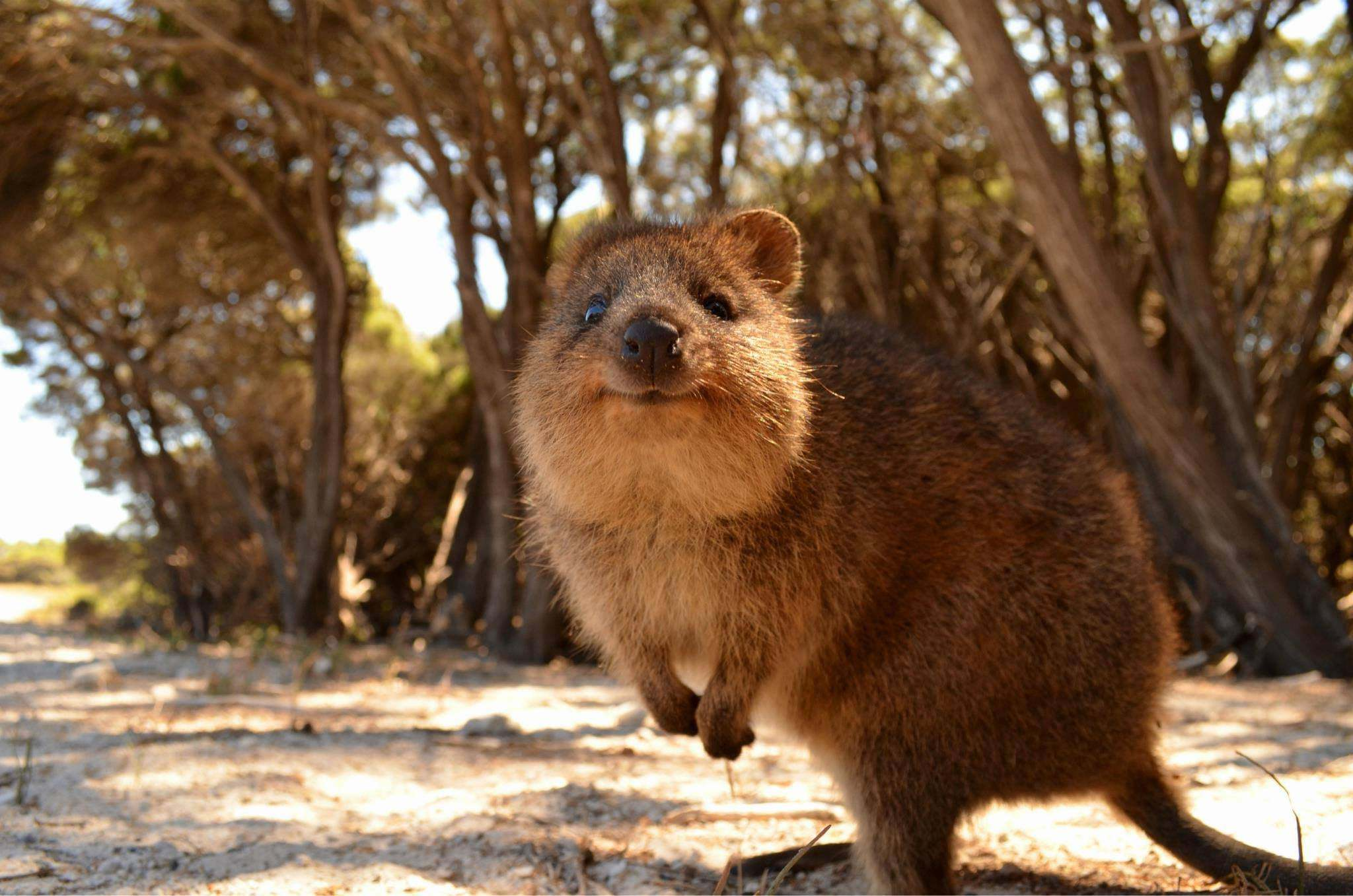 Quokka HD Wallpaper
