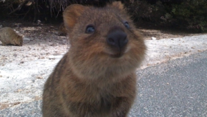 Quokka High Quality Wallpapers