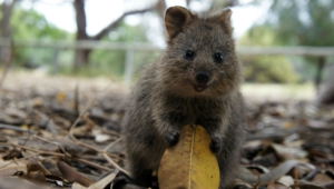 Quokka Photos