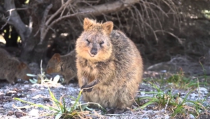 Quokka Wallpapers