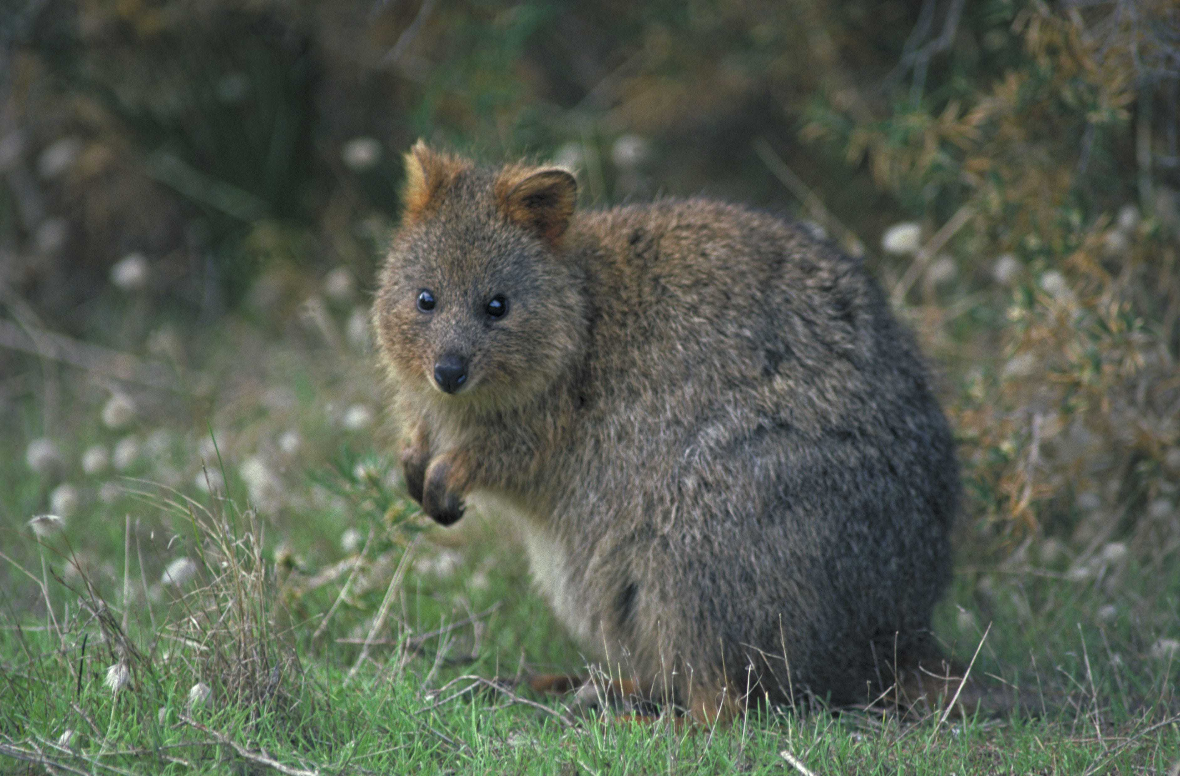 Quokka Wallpapers HD