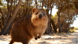 Quokka Widescreen