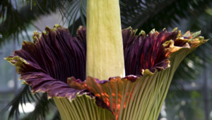 Amorphophallus Titanic Wallpapers HD