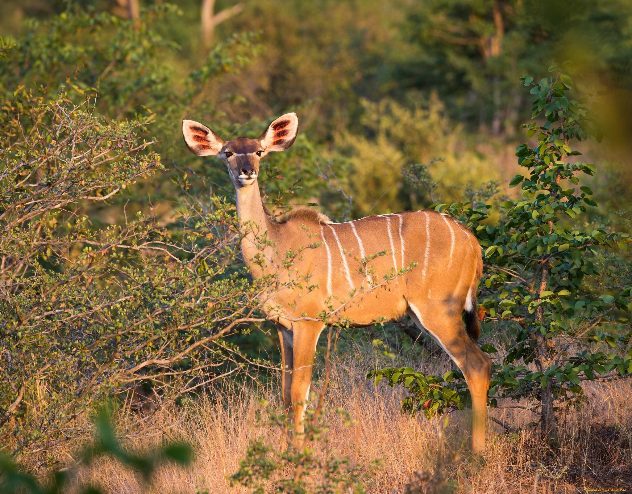 Antelope 3197